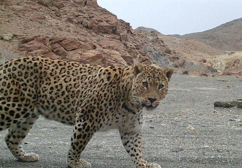 پلنگ با حمله به گله ای در ایرانشهر 8 بز را تلف کرد
